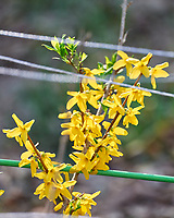 Forsythia. Image taken with a Leica SL2 camera and 90-280 mm lens.