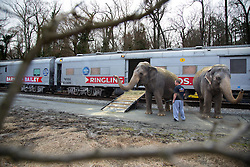 """Elephants disembark the train on a break to stretch their legs on the train ride between Richmond, VA and Washington DC.<br /> <br /> Ringling Bros. and Barnum & Bailey Circus started in 1919 when the circus created by James Anthony Bailey and P. T. Barnum merged with the Ringling Brothers Circus. Currently, the circus maintains two circus train-based shows, the Blue Tour and the Red Tour, as well as the truck-based Gold Tour. Each train is a mile long with roughly 60 cars: 40 passenger cars and 20 freight. Each train presents a different """"edition"""" of the show, using a numbering scheme that dates back to circus origins in 1871 — the first year of P.T. Barnum's show."""