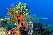 A colony of multi coloured Crinoid featherstars (Crinoid sp) attached to a sponge, Vannessa's reef, Kimbe Bay