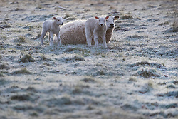 © Licensed to London News Pictures. 23/03/2020. Guyzance, UK. Lambs play at sunrise on a frosty morning on farmland near the hamlet of Guyzance in Northumberland, northern England. Photo credit: Ben Cawthra/LNP