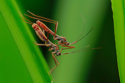 """MANADO, INDONESIA - UNDATED: <br /> <br /> Mating Insect<br /> <br /> It seems """"fifty shades of Grey"""" is having its affect on the insect world!<br /> Roberfly are mating in Manado, North Sulawesi, Indonesia. Bobby Worotikan and Joppy Mudeng, photographers, Pictured different types of insects in the North Sulawesi forest, during mating season, Sulawesi is located on the equator makes so many insects. <br /> ©Bobby Worotika/Exclusivepix Media"""