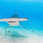 Great hammerhead shark (Sphyrna mokarran) swimming over a sandy seabed, Bimini, Bahamas.