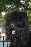 Bullet a black russian terrier property release available The Dog won the Bulgarian National Dog Competition on August 28th 2008