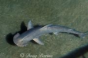 bonnethead shark, Sphyrna tiburo, Florida, USA