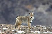 Coyote near Yellowstone National Park.