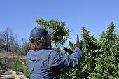 Legal Recreational Cannabis Harvest 2 California- 2018