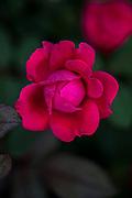 Rose at dawn.