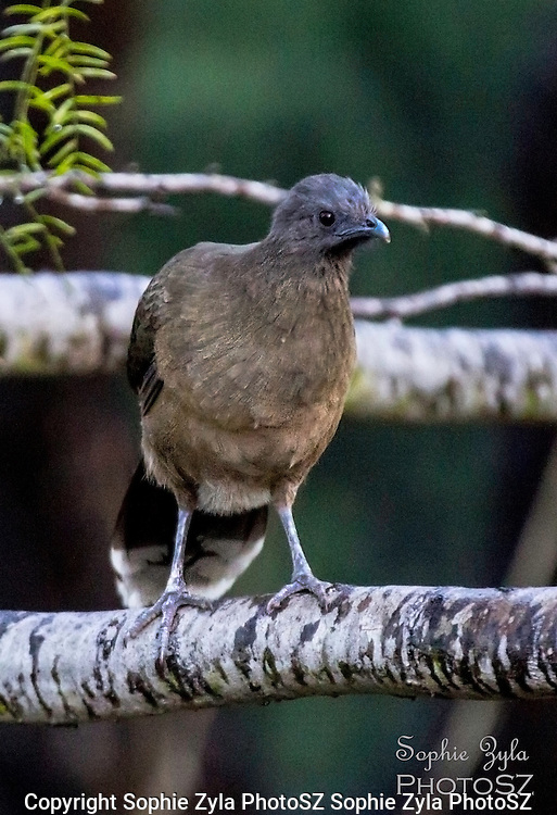Plain Chachalaca checking things out