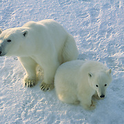 Polar Bear (Ursus maritimus) portrait of mother and cub waiting for Hudson Bay to freeze. Canada