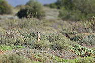 Meerkat adult on sentry duty - standing up to look for danger while the rest of the family group forage, De Zeekoe Ranch, Oudtshoorn, Western Cape, South Africa