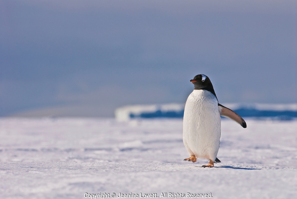 Gentoo Penguin walks on the sea ice with ice bergs in the background.