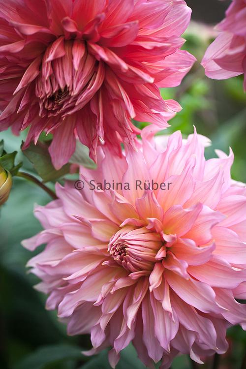 Dahlia 'Islander' - decorative dahlia
