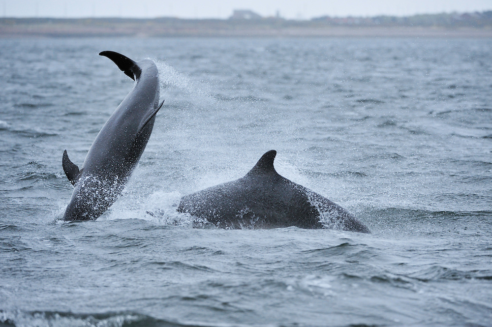 Bottle-nosed Dolphins breaching,<br /> Tursiops truncatus,<br /> Moray Firth, Nr Inverness, Scotland - April