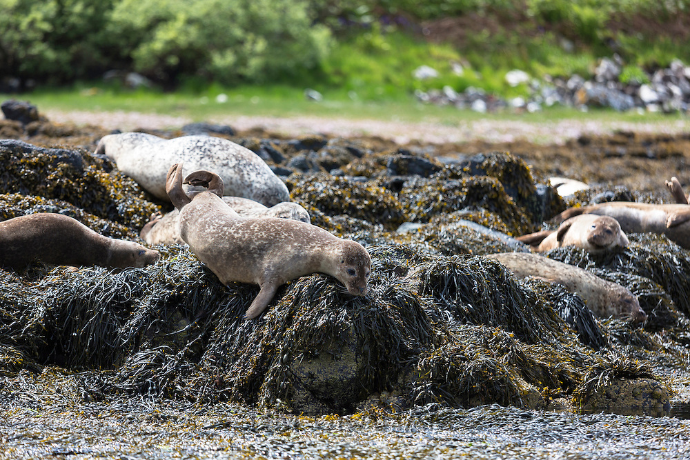 Common Seal or Harbour Seal, Phoca vitulina, colony of adults and juveniles basking on rocks and seaweed by Dunvegan Loch, Isle of Skye, Western Scotland