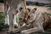 Kruger lionness greeting and grooming each other.