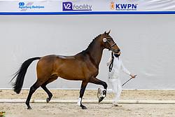 336, Norado O<br /> KWPN Hengstenkeuring 2021<br /> © Hippo Foto - Dirk Caremans<br />  04/02/2021