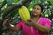 Eugenia Sho, 48, cacao grower from San Antonio, harvests a cacao pod. Toledo Cacao Growers' Association (TCGA), San Antonio, Toledo, Belize. January 28, 2013.