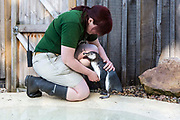 Puddles, the orphaned penguin takes its first ever swimming lesson in the training pool at London Zoo. Guided by it's surrogate mother and bird keeper Vicky Fyson.  Please credit all image usage with: © Andrew Aitchison
