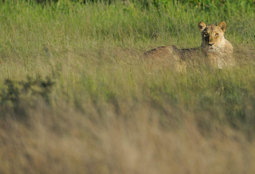 Lion, Panthera leo, female, Hwange National Park, Zimbabwe
