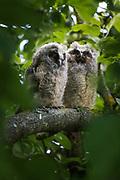 Long-eared owl (Asio otus) owlet, photo by Ⓒ Davis Ulands | davisulands.com