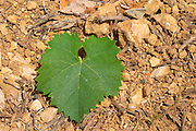 Domaine d'Aupilhac. Montpeyroux. Languedoc. Vine leaves. Mourvedre grape vine variety. Terroir soil. France. Europe. Vineyard.
