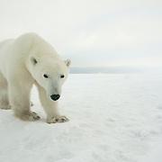 Polar Bear at Cape Churchill, near Churchill, Manitoba, Canada.