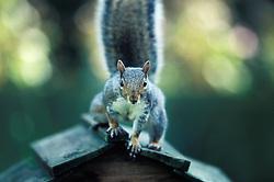 Eastern grey squirrel (sciurus carolinensis) on top of a bird table, Leicester, England, UK.