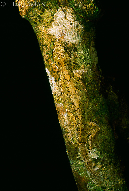 Perfectly camouflaged, a Kuhl's flying gecko (Ptychozoon kuhli) waits for passing insects.