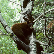 Black Bear, (Ursus americanus) Minnesota, sow with cubs seek refuge in tree. Spring.