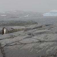 A gentoo Penguin crosses glacier-polished rock on Booth  Island, Antarctica.