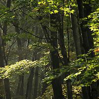 Misty morning forest scene along the Blue Ridge Parkway near Mills River, North Carolina, southwest of Asheville.