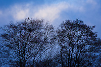 RED KITE, MILANO REAL (Milvus milvus), Rhayader, Mid Wales, United Kingdom