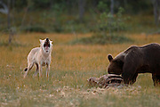 Unusual Friendship Between Wolf And Bear <br /> <br /> an amazing event occurred involving a male bear cub and a female wolf cub. The shy bear cub tended to avoid the other bears and to feed alone. If larger individuals appeared, the young cub would quietly depart.<br /> This scenario continued for several nights. Then a light coloured female wolf cub joined the young bear. She, too, kept herself to herself, avoiding conflict. I called them Romeo and Juliet. Romeo's behaviour emboldened Juliet. Romeo sat at a funny attitude at the dinner table and appeared inquisitive but friendly when Juliet guardedly crept up to the same table. From her attitude it was obvious that Juliet was prepared to flee immediately if Romeo disliked her. Tail between her legs and her entire body tensed, the wolf cub finally summoned up the courage to eat off the same plate as the little bear.<br /> In the realm of the bears I had never before seen an individual which did not in one way or another behave threateningly towards a wolf, if not by actually charging, at least by emitting that characteristic smacking together of the jaws or a low-pitched warning growl.<br /> Had the two been members of the same species one would have surmised that deeper feelings were at work. But a wolf and a bear - huh! In fact, their friendship actually grew night by night. Romeo would appear first. Not long afterwards Juliet's pale form could be discerned in the forest. As soon as it became evident that no other bears or wolves were feasting, she would join her friend. At its best the distance between the two heads as the animals sank their teeth into the food was a mere 30-40 cm.<br /> This unusual love affair lasted for well over a week before the animals went their separate ways. Later, I saw Romeo several times but he was always alone. Juliet, on the other hand, could be seen hanging out with her relatives. It is highly characteristic of wolf behaviour for the pack to disperse, only to gather again in a var