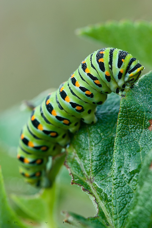 Cape Arago State Park, Oregon.<br /> <br /> A Black Swallowtail (Papilio polyxenes) caterpillar, covered in morning dew, hauled it's weight up a ladder of leaves, trailed by the bite marks of breakfast.