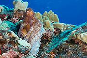 day octopus, big blue octopus, Cyane's octopus, or hee mauli, Octopus cyanea, showing siphon, Paradise Pinnacle, South Kona Coast, Hawaii Island ( the Big Island ), Hawaiian Islands, U.S.A. ( Central Pacific Ocean )