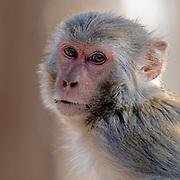 Portrait of Rhesus macaque (Macaca mulatta) from Pench National Park, Madhya Pradesh, India.