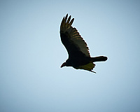 Turkey Vulture. Sourland Mountain Preserve. Image taken with a Nikon D300 camera and 80-400 mm VR lens.
