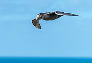 Southern Giant Petrel (Macronectes giganteus) from Saunders Island, the Falkland Islands