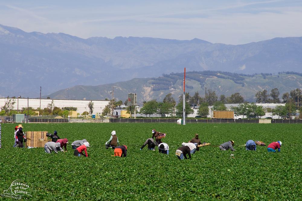 Strawberry fields being harvested. Oxnard, Ventura County, California, USA