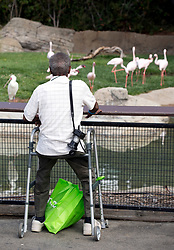 Ray Orr of Oakland, Calif. takes in the flamingoes in their enclosure at the Oakland Zoo, during the 11th annual Healthy Living Festival, Thursday, July 17, 2014 in Oakland. Thousands of seniors from came to learn more about healthcare options, be entertained, and to tour the zoo. (D. Ross Cameron/Bay Area News Group)