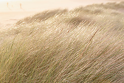 Backlit grasses in dunes at Chapman Beach near town of Cannon Beach, Oregon, USA.