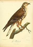 Le Tachard Bird of Prey from the Book Histoire naturelle des oiseaux d'Afrique [Natural History of birds of Africa] by Le Vaillant, François, 1753-1824; Publish in Paris by Chez J.J. Fuchs, libraire .1799