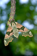 Lime Hawk-moth Mimas tiliae Wingspan 65mm. A beautifully patterned moth whose markings and jagged wing shape give it a resemblance to crumpled, dappled leaves. Adult is typically olive-green with pinkish marbling and darker markings. Flies May–June. Larva is pale green with a pale diagonal stripe on each segment, numerous white dots, red spiracles, and red-tinged 'horn' at the tail end. Larva feeds mainly on lime. Locally common in lowland southern and central England and Wales.