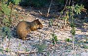 Azara's agouti (Dasyprocta azarae) from Pantanal, Brazil.