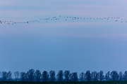 Wild goose chase - large lflock of Brent Geese, Branta bernicla, migratory birds in flight over wetlands in North Norfolk, UK