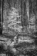 """A walk in the woods can be a soothing balm for the mind.  Here a sapling, gallently holding onto its leaves, is highlighted with late afternoon sunlight and a tiny creek reflects its glory.  Aspect ratio is 1""""w x 1.5""""h"""