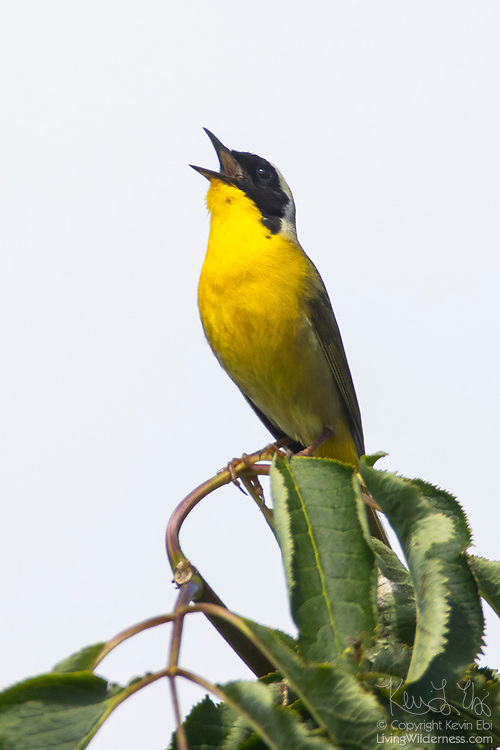 A common yellowthroat (Geothlypis trichas) sings from its perch at the top of an alder tree on Spencer Island in Everett, Washington. Common yellowthroat is a type of warbler and is one of the most numerous of that type.