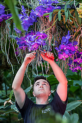 © Licensed to London News Pictures. 07/02/2019. London, UK. Horticultural Apprentice Tim Forshaw tends to orchids at the 24th annual Kew Orchid Festival, which this year focusses on the colour and biodiversity of Colombia. Photo credit: Rob Pinney/LNP