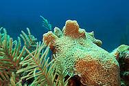 Lettuce Coral, Agaricia agaricites, Grand Cayman