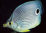 Foureye Butterflyfish (Chacetodon capitstratus).  The spot on the tail serves as a decoy to confuse predators who mistake the tail for the head and give the fish a chance to survive an attack.  Florida Keys